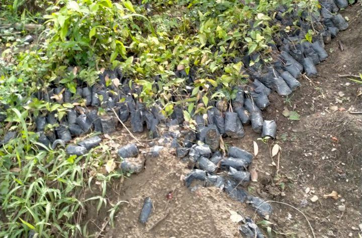 Bibit-bibit Mangrove Yang Dibiarkan Terlantar dan Tidak ditanam oleh BPDAS Waeapu Batu Merah, di Wilayah Maluku Tengah
